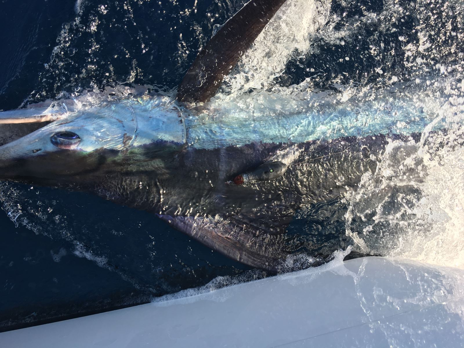The first fish caught in the 2015 Master Angler Billfish Tournament