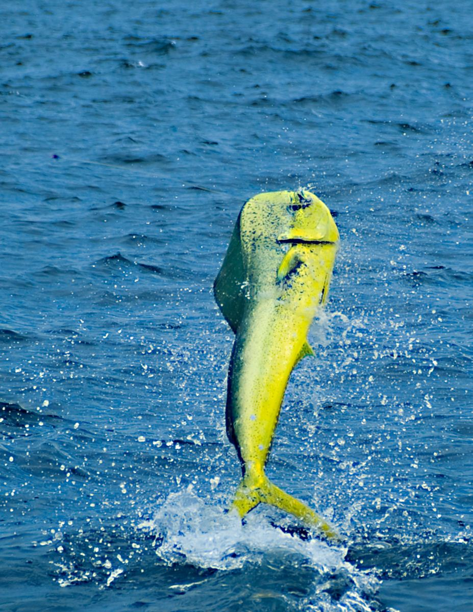 Igfa exploring dolphinfish for Is a dolphin a fish