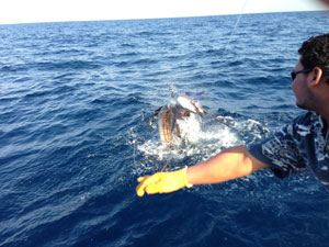 A sailfish caught and tagged off the coast of Guatemala in the IGFA Great Marlin Race.