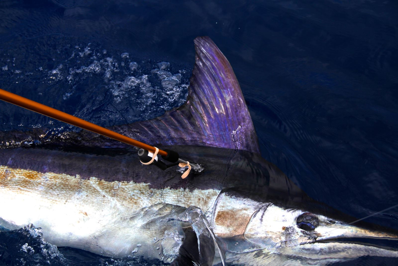The sixth fish tagged in the 2014 Master Angler Billfish Tournament