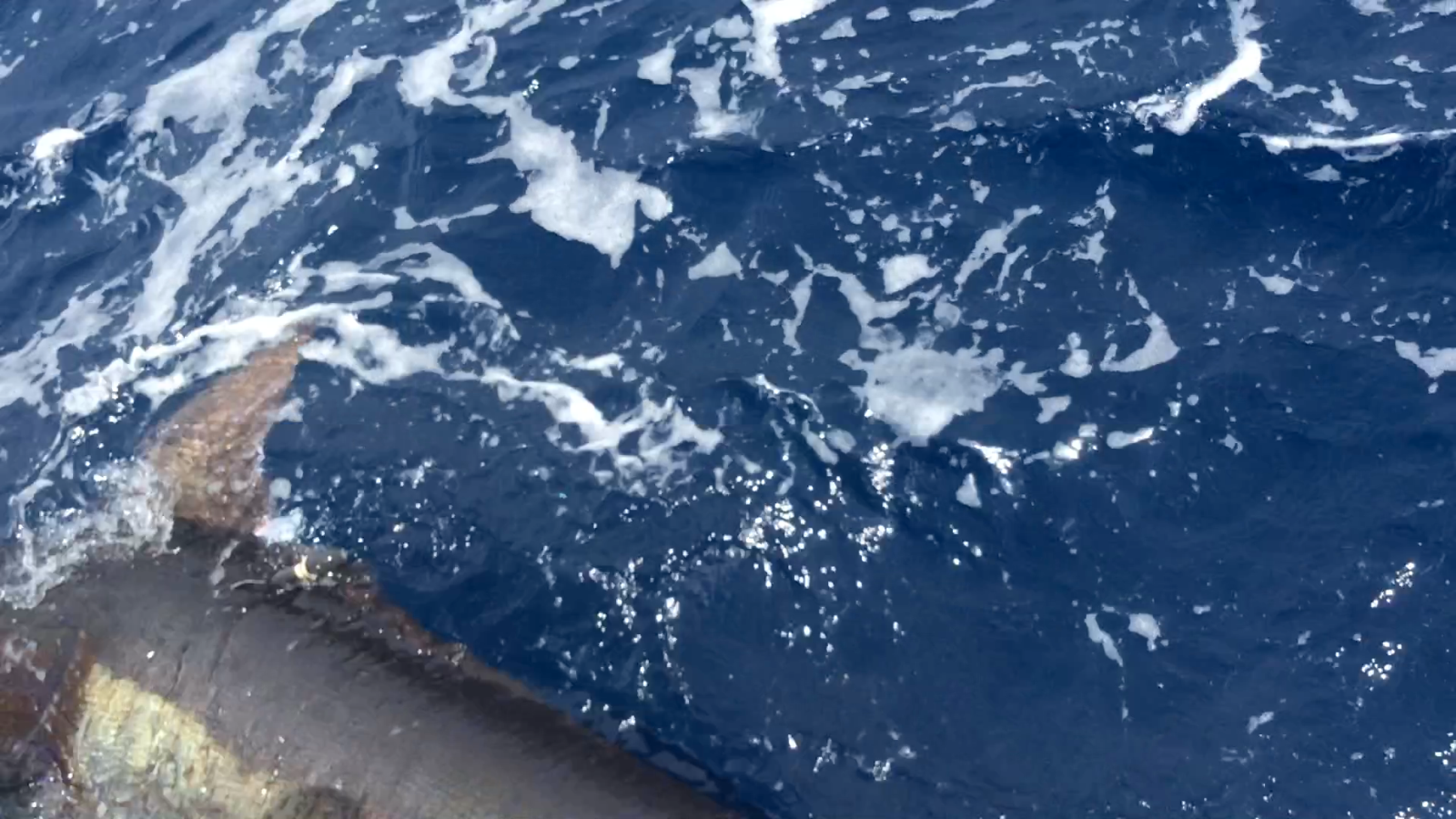 240 kg black marlin released with Team 1 Island Star's satellite tag