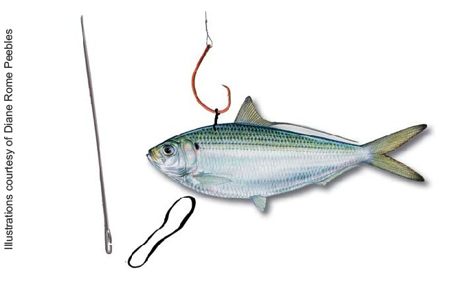 igfa | bridling live baits for kite fishing, Fishing Bait
