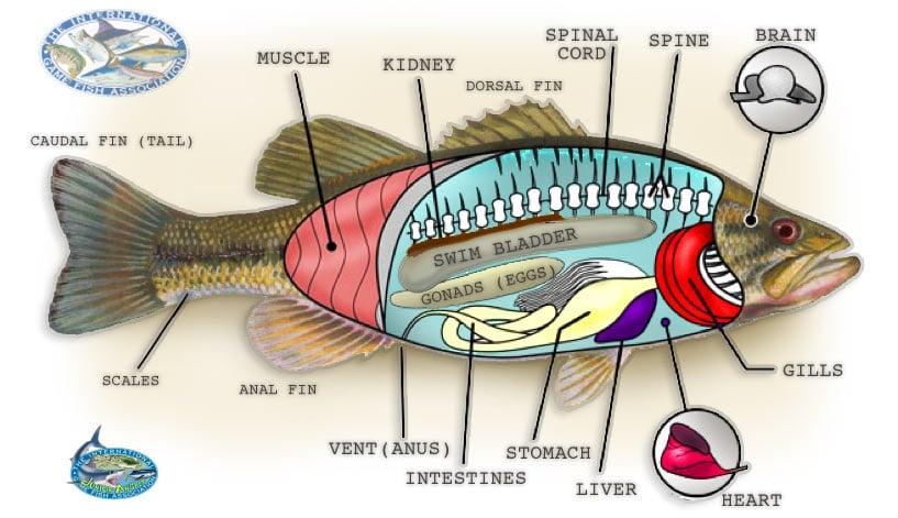 Igfa Fish Dissection