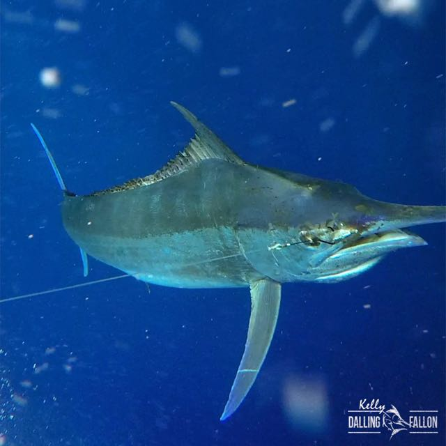 950 black marlin tagged by Little Audrey capt. Daniel Carlson